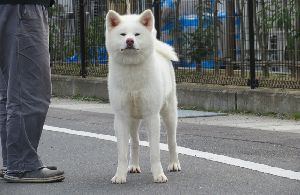 秋田 犬 保存 会